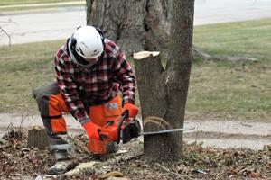 Arboriculture student fells a tree