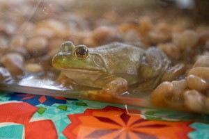 Frog on exhibit